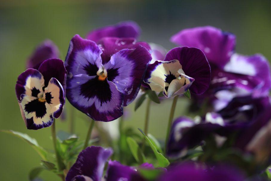 Stiefmütterchen violett gelb