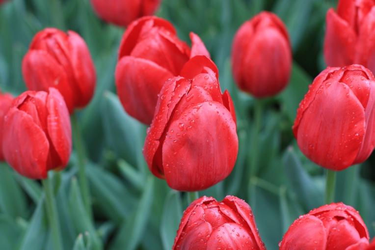 Rote Tulpen als Königsdisziplin der Holländer?