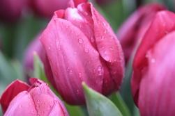 Wassertropfen an pinken Tulpenblüten.