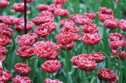 Diese Tulpen habe ich für mich persönlich zu den Schönsten gekürt.