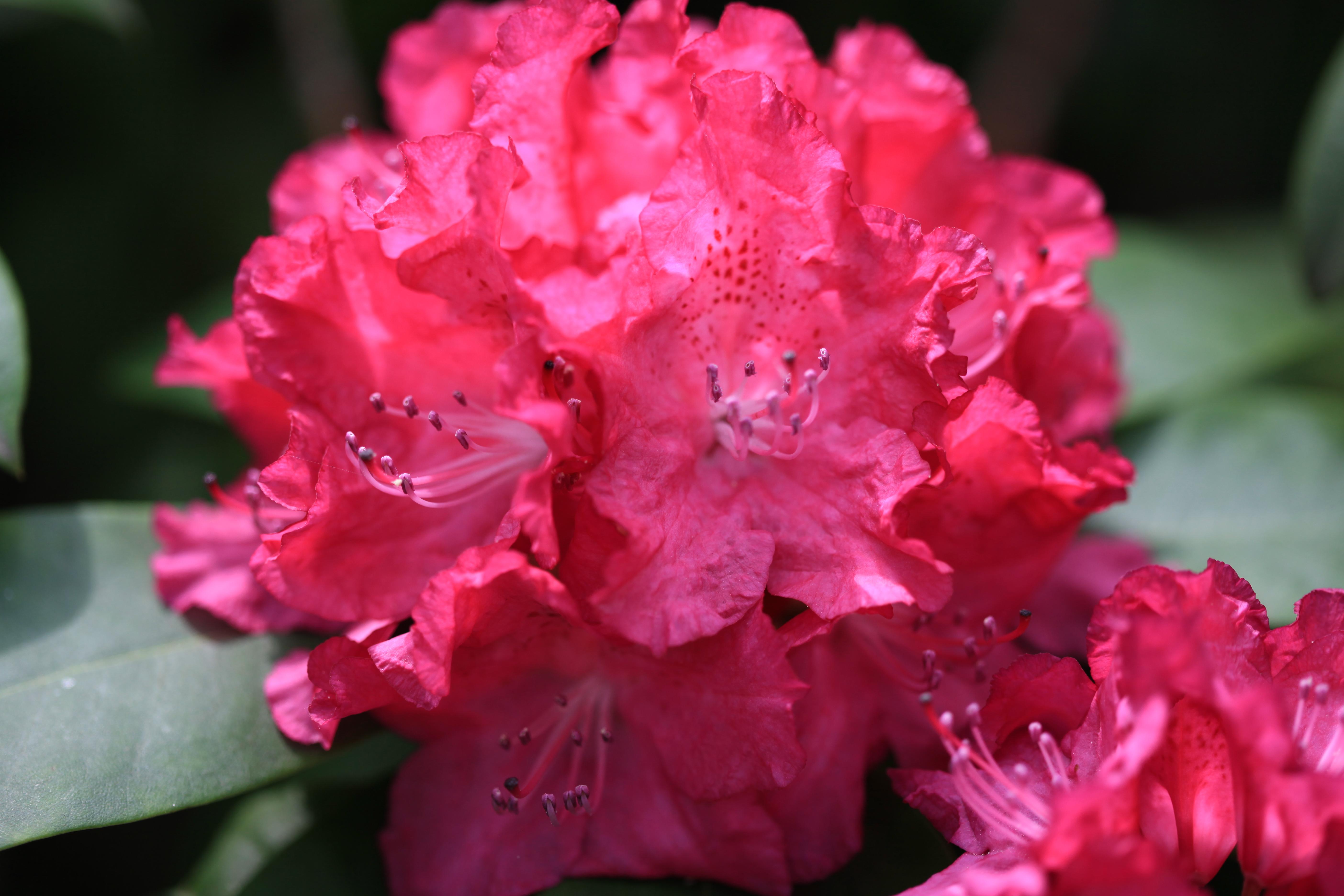 Pinke Rhododendren