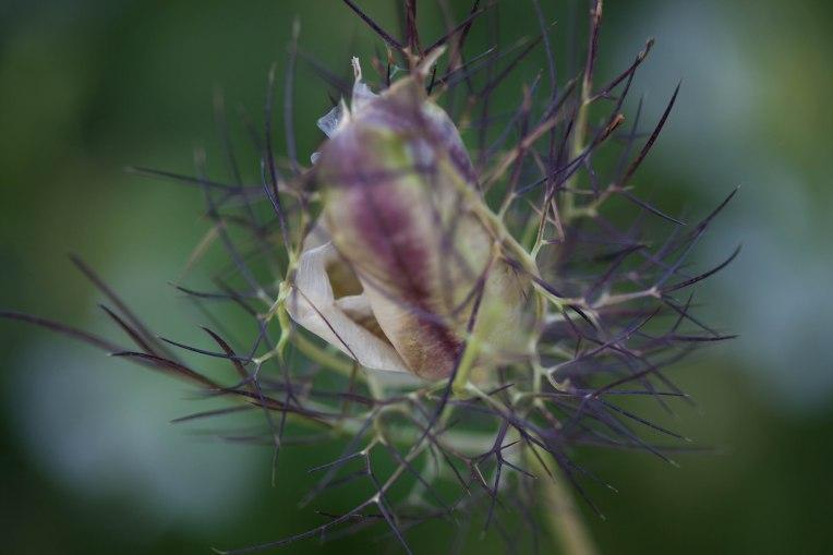 Nach der Blütezeit von Juni bis August kommt die Samenkapsel zum Vorschein.