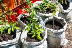 Im Prinzessinnengarten werden auch Tomaten angebaut.
