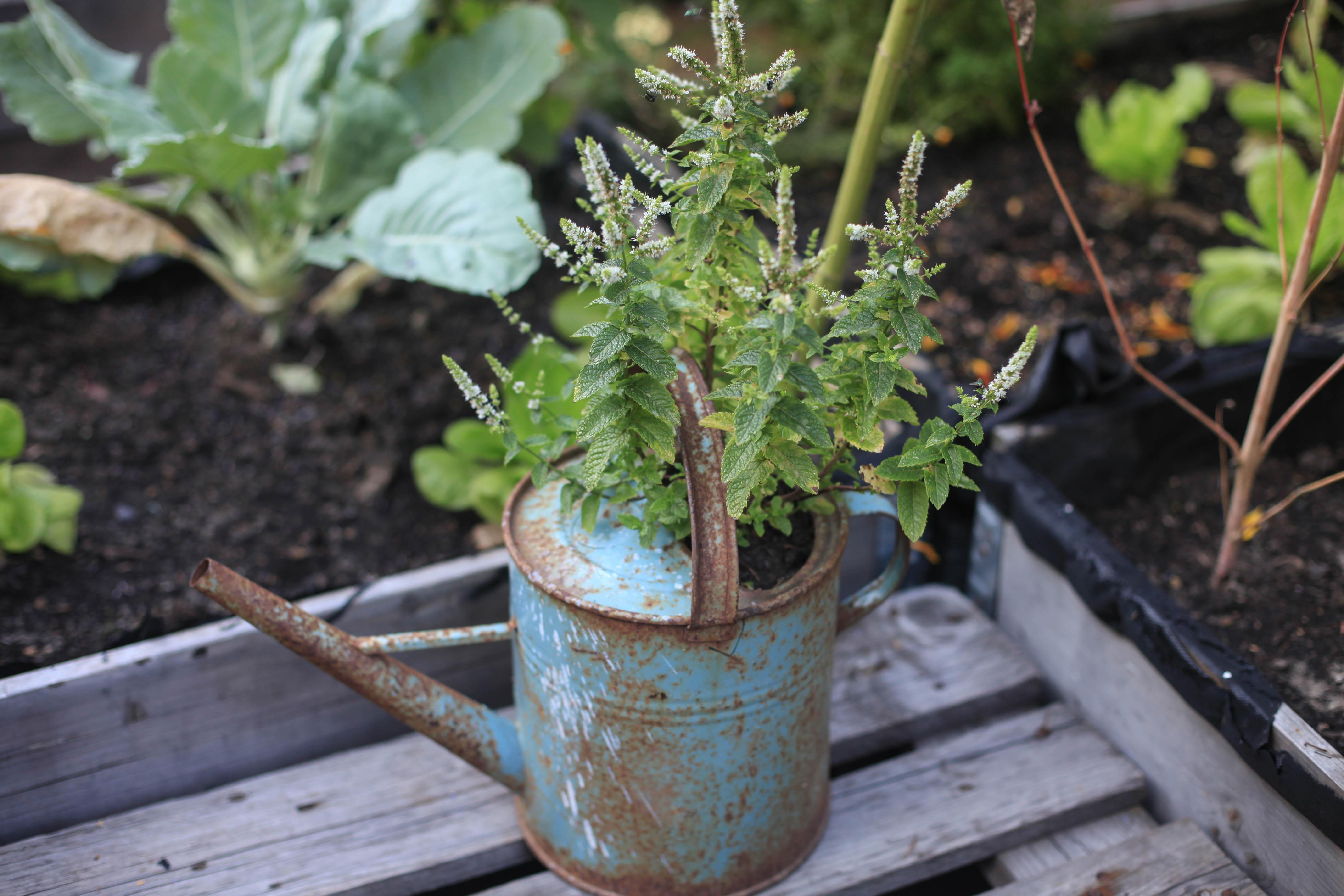 Eine alte Gießkanne dient nun als Pflanzentopf.
