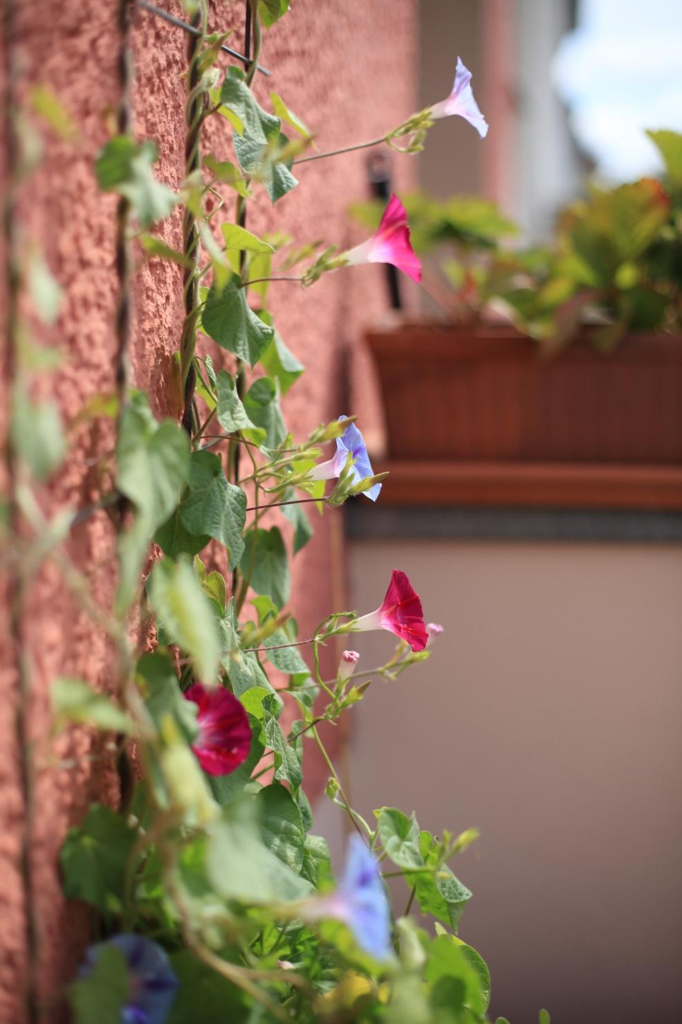 Diese Prachtwinden benötigen unbedingt Rankhilfen, wie einen Gartenzaun, Rankgitter oder Pflanzenspaliere.