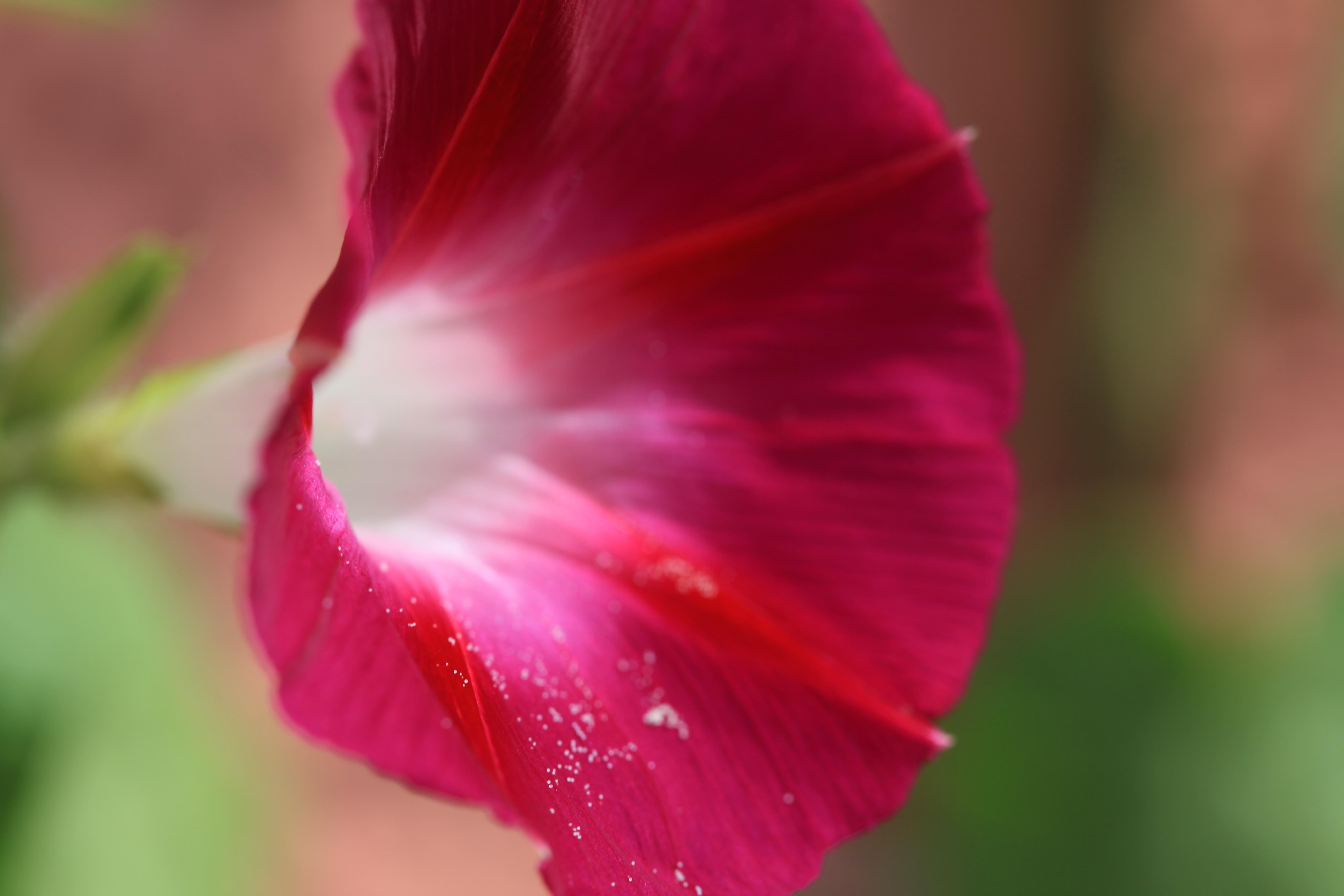 Pink-rote Blüte der Trichterwinde.