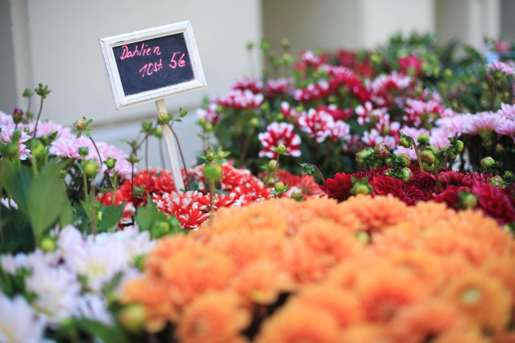 Dahlien sind Spätsommerblumen.