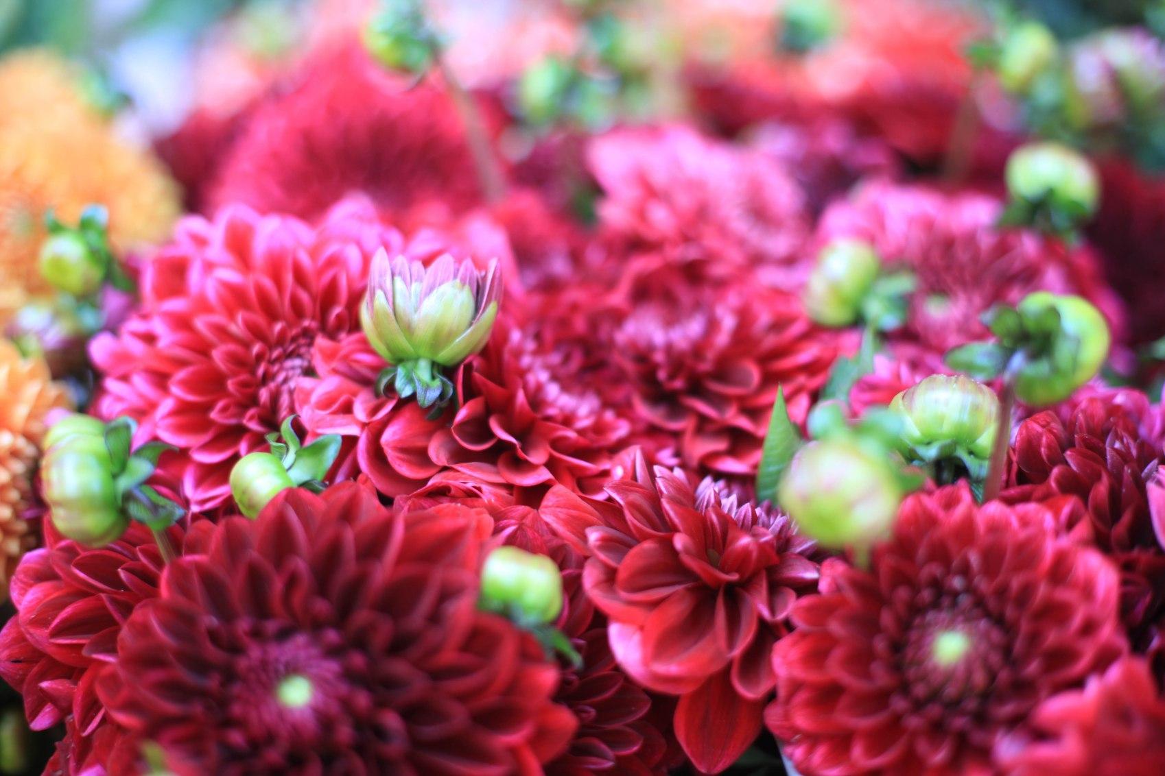 Beim Blumenjäger leuchten die Dahlien in Purpur.