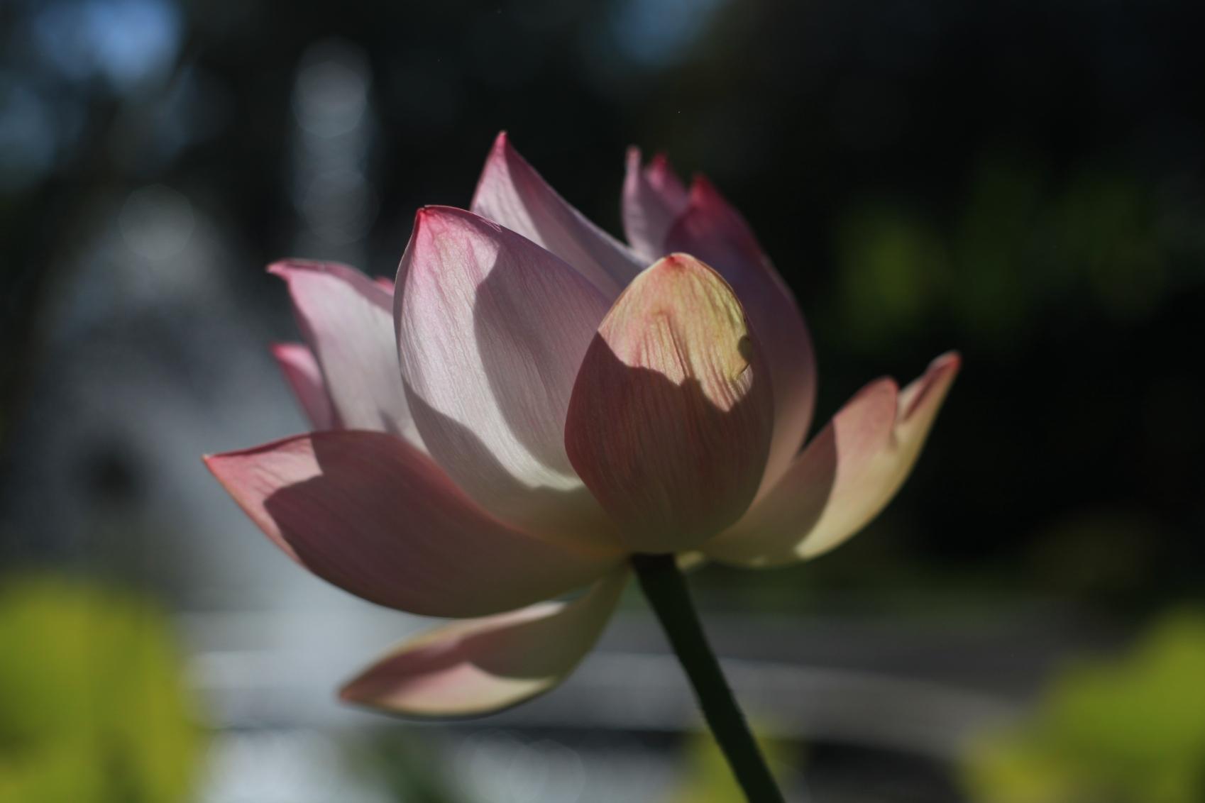 Die indische Lotusblüte ist eine perfekte Blüte.