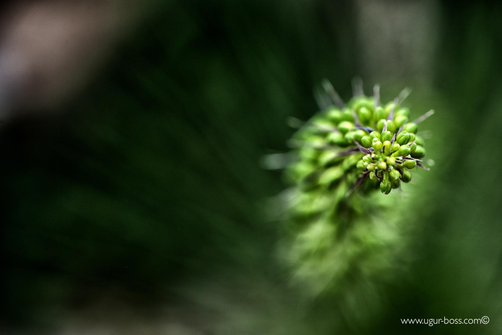 Sieht aus wie eine grüne Raupe, ist aber eine Pflanze.