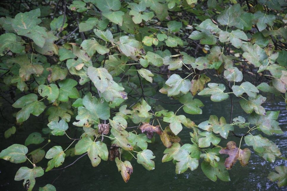 Dreiblättriger Ahorn hängt direkt über dem Wasser.