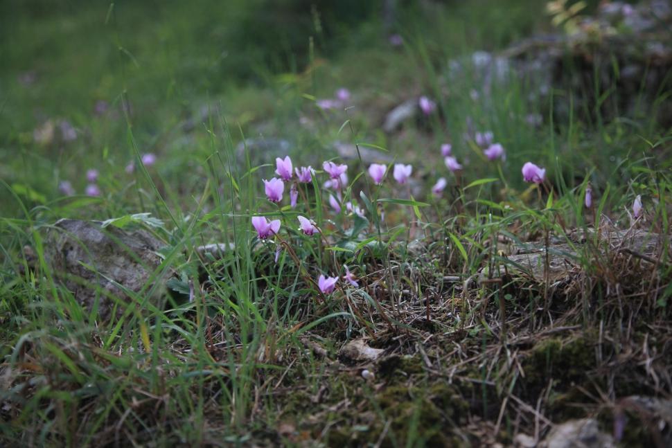 Wildes Alpenveilchen - auch Erdbrot genannt.