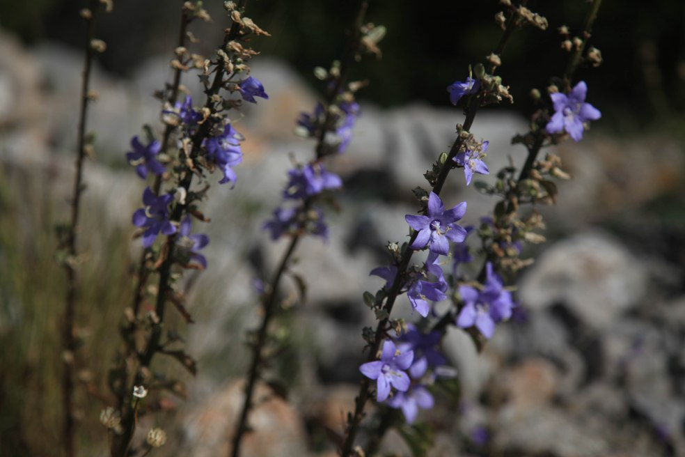 Fliederfarbene Blumen in Küstennähe von Kroatien.