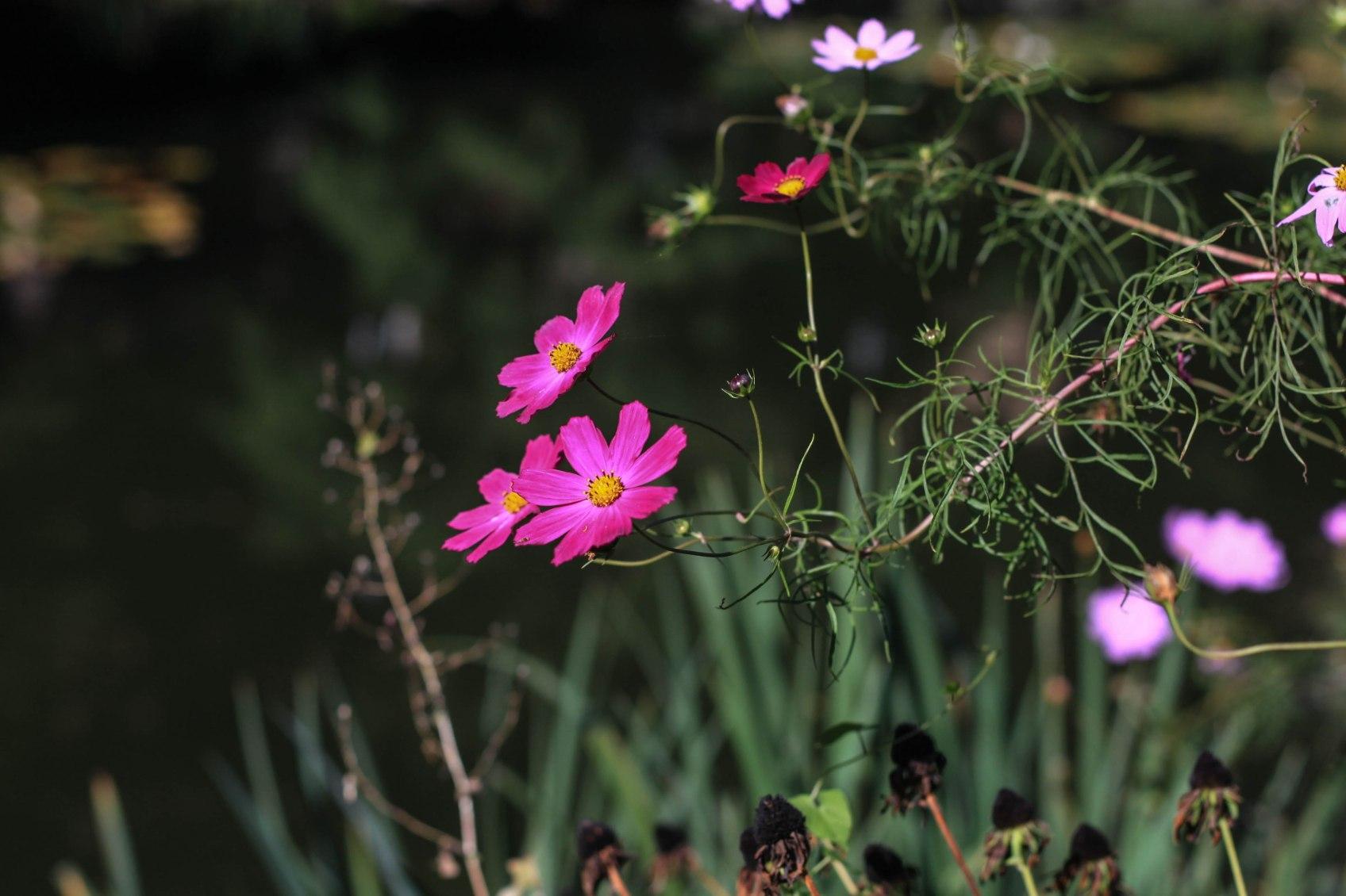 Stilvolle pinkrosa Blüten.