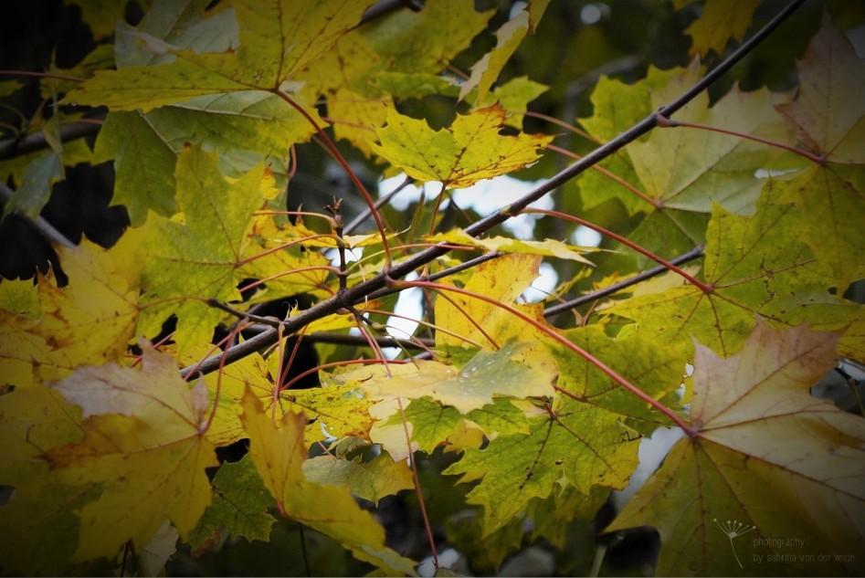 Die Blätter leuchten in kräftigen Farben.