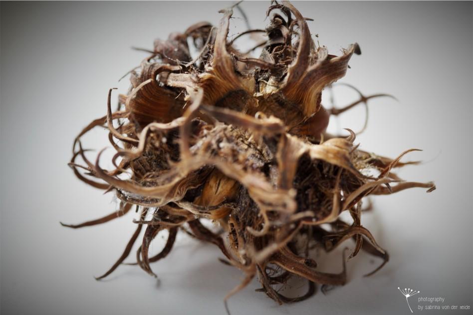 Die Fruchtkapseln oder auch Schalen der Baum-Hasel wirken sehr bizarr.
