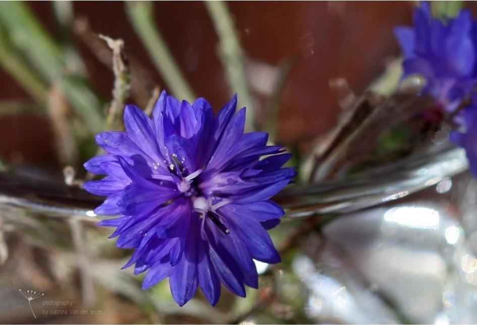 Die Blüten der Kornblumen sind in einem intensiven Blau.