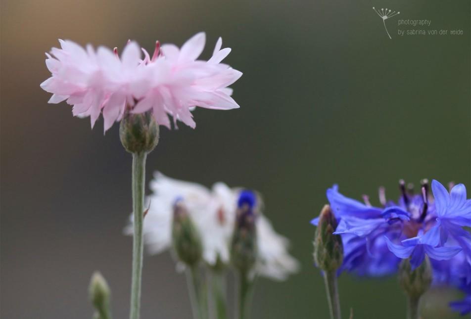 Die Kornblume ist eigentlich im östlichen Mittelmeerraum heimisch.