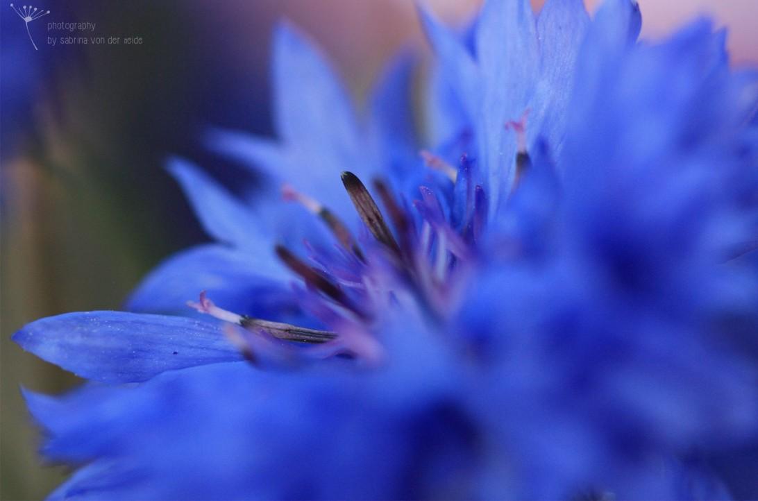 Durch die Überdüngung in der Landwirtschaft ist die blaue Blütenpflanze fast ausgestorben und steht daher unter Naturschutz!