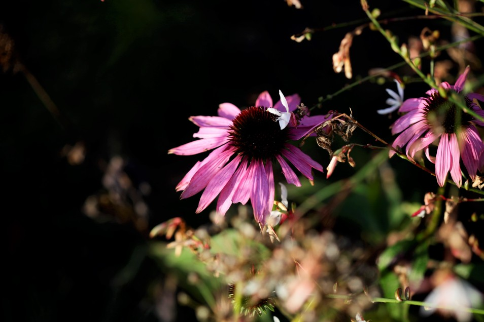 Der Sonnenhut blüht im Botanischen Volkspark.