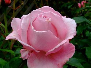 Bei einem Besuch in San Francisco darf ein Abstecher im Rosengarten des Golden Gate Parks nicht fehlen. http://www.golden-gate-park.com/rose-garden.html
