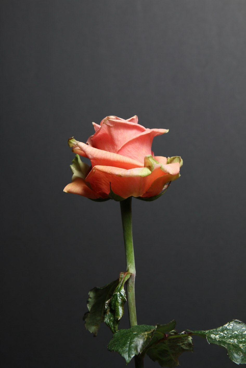Eine lachs-rosafarbene Rose aufgenommen von Andreas Lindow.