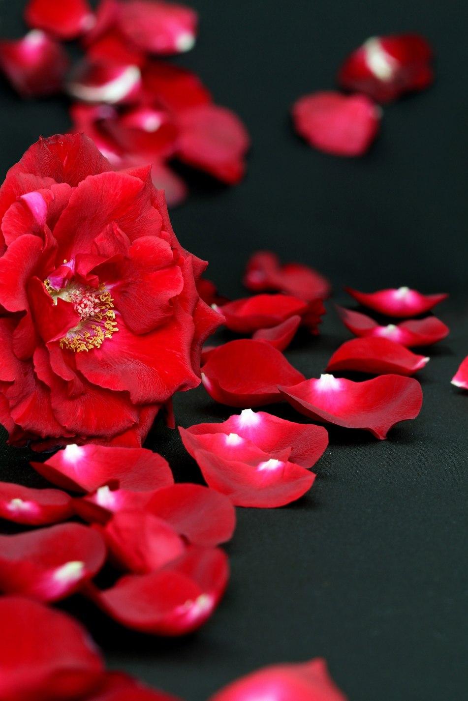 Rote Rosen sind die farblich beliebtesten Rosen. Sie gelten als Symbol der Liebe. Foto: Andreas Lindow