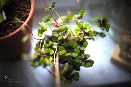 Glücksklee ist vierblättrig und gibt es sehr günstig bei Ihrem Blumen- und Pflanzenverkäufer nebenan.