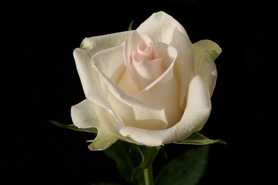 Weiße Rosen gelten als geheimnisvoll. Foto: Andreas Lindow