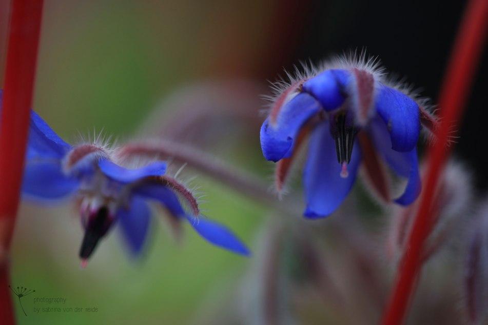Die blauen Blüten verfügen über leuchtende Strichsaftmale, die für bestäubende Insekten sichtbar sind.