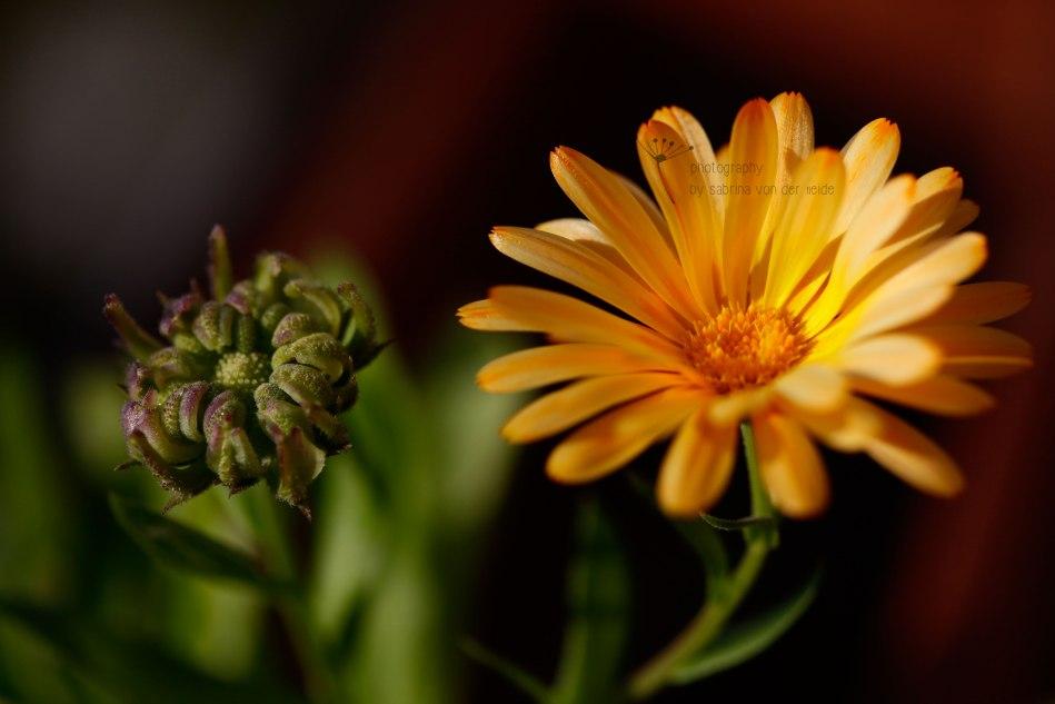 Ringelblumen dienen als natürlicher Pflanzenschutz.