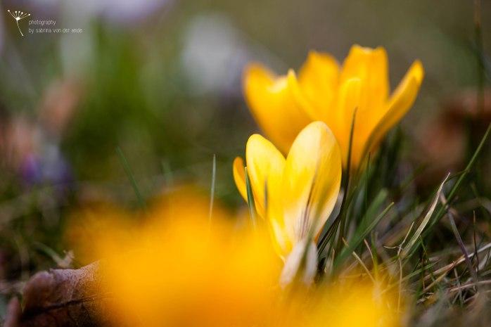 Aber auch gelbe Krokusse sind ein toller Farbklecks!