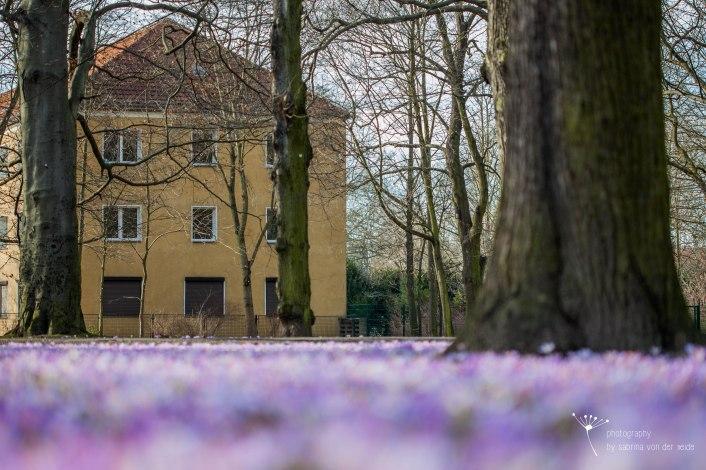 Krokusse im Schlosspark Biesdorf