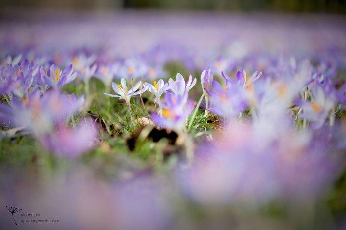 Am schönsten finde ich die lila-farbenen Krokusse.