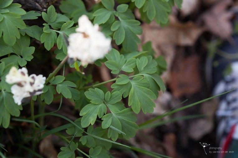 Die Blätter des hohlen Lerchensporns sind schwach bis mäßig giftig.