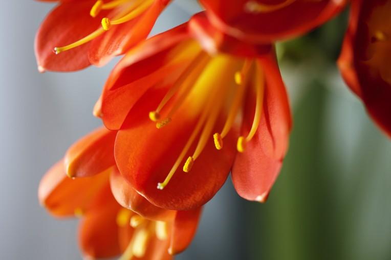 Viele Amaryllisgewächse blühen im späten Winter und frühen Frühjahr!