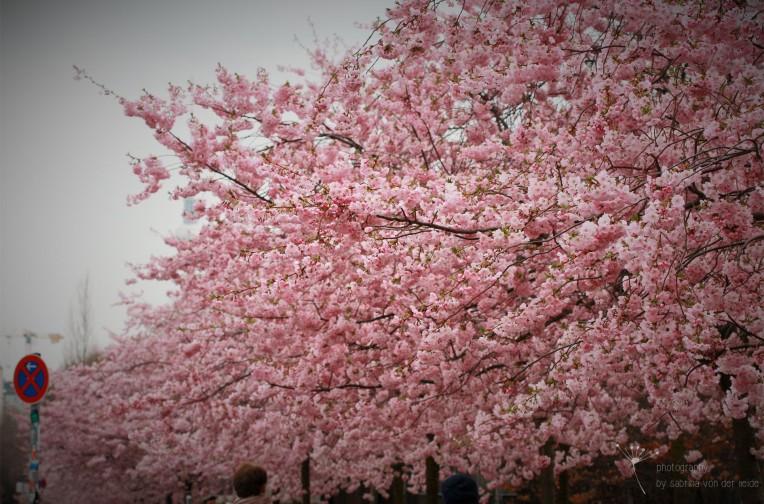 Kirschblüten an einem Sonntag im April.