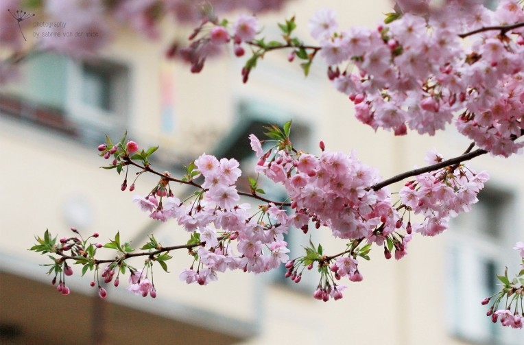 Kirschblüten auf dem Weg zum Mauerpark.