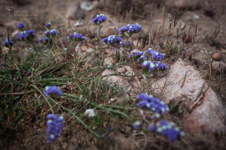 Blaue Blütenpflanze in Meeresnähe.