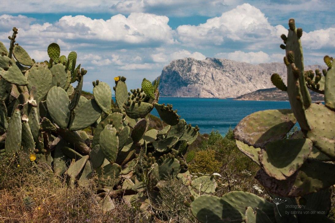 Feigenkaktus blühen im Mai. Die Früchte sind die im Supermarkt zu kaufenden Kaktusfeigen.