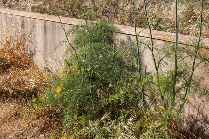 Charakteristisch ist der anisähnliche Duft, den die Heilpflanze ausströmt.