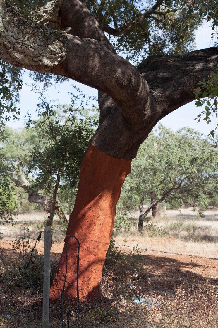 In Portugal wächst die Korkeiche auf einem Gebiet von 750.000 Hektar.