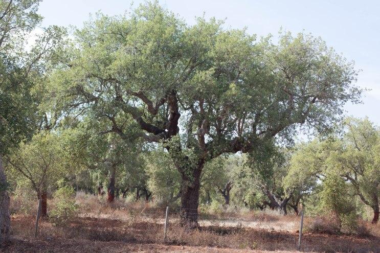 Die Korkeichen prägen die Landschaft in Portugal.