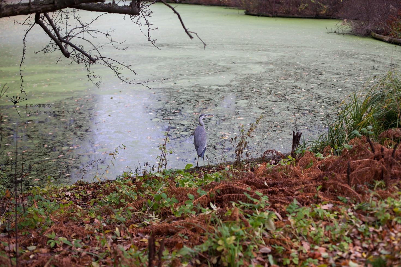 Ein Fischreiher kurz vor seinem Abflug zum anderen Ufer.